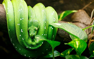 Spotlight: Why are Snakes Used in Traditional Chinese Herbalism?