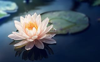 Lian Zi, Lian Fang, Lian Ye: The Use of Lotus in Traditional Chinese Medicine